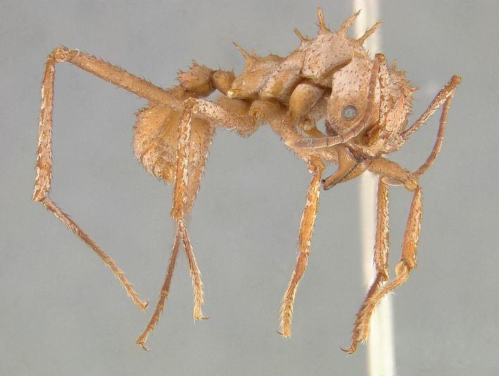 A armadura da Acromyrmex echinatior ajuda a formiga a sobreviver aos confrontos com outras espécies de ...