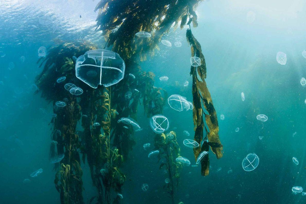 Florestas de Algas Gigantes