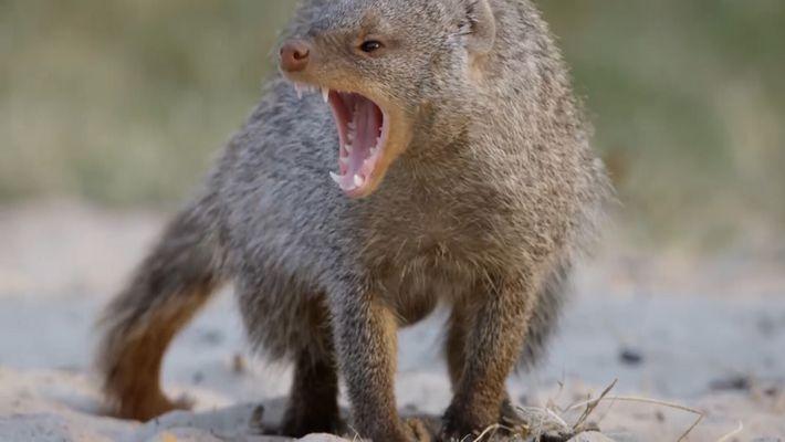 Veja: mangustos-listrados são equipados para matar – até esta cobra