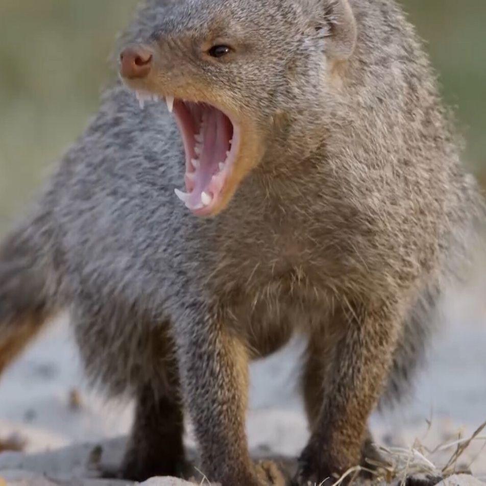 Veja: mangustos-listrados equipados para matar – até esta cobra