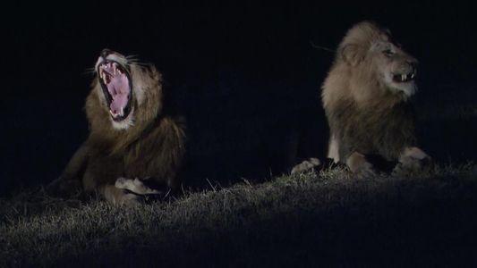 Observe este grupo de leões caçar um enorme búfalo na escuridão da noite