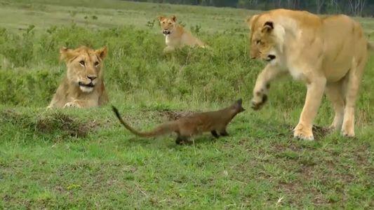 Veja este mangusto enfrentar corajosamente um grupo de leões famintos