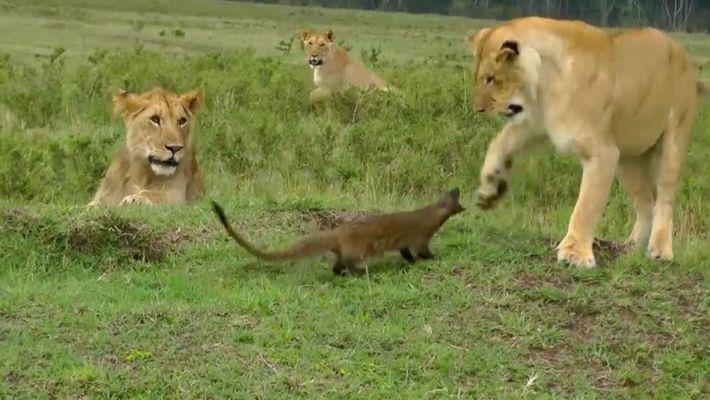 Veja este mangusto a enfrentar corajosamente um grupo de leões famintos