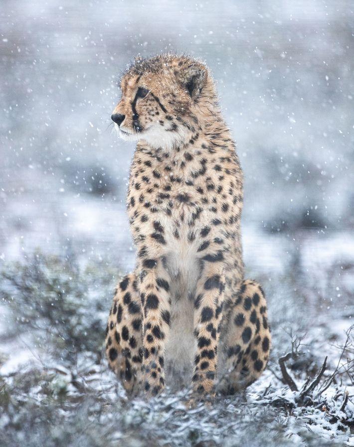 Uma chita macho, recentemente libertada na Reserva Natural Rogge Cloof, examina a paisagem. Os felinos libertados ...