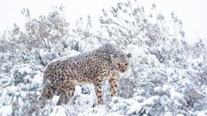 Fotografias Raras Mostram Chitas Africanas Numa Tempestade de Neve