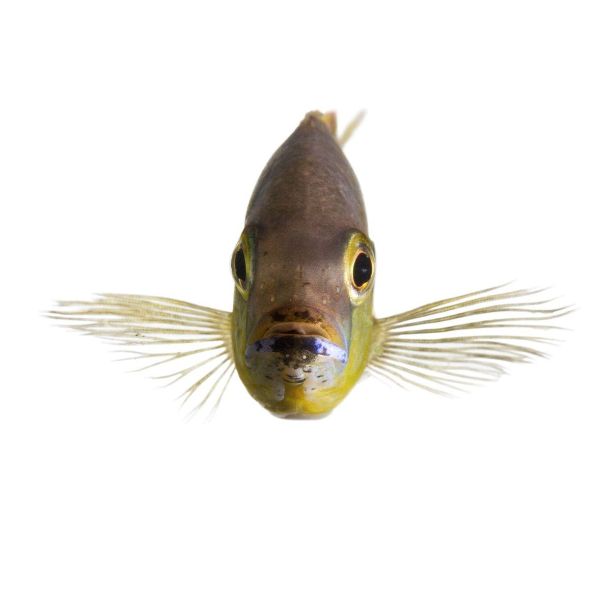 Alguns peixes ciclídeos africanos, nativos do Lago Tanganyika, na África Oriental, conseguem distinguir entre os peixes ...