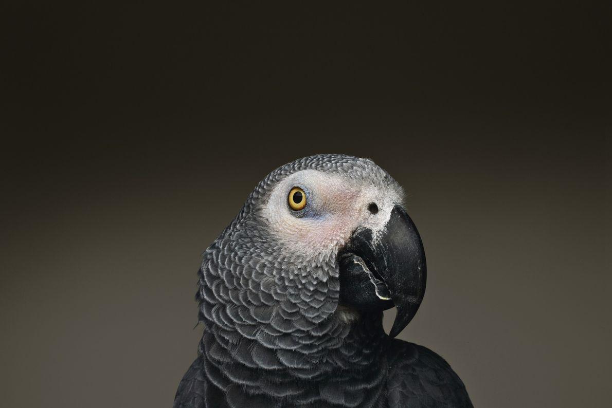 Os papagaios-cinzentos são famosos pelas suas capacidades de imitação da fala humana. E os estudos demonstram ...