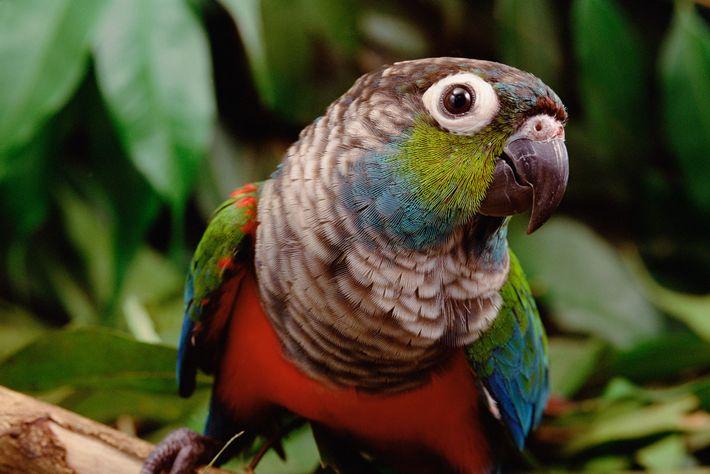 Os periquitos-de-peito-vermelho são uma das 1.500 espécies de aves encontradas na floresta amazónica. Com os incêndios ...