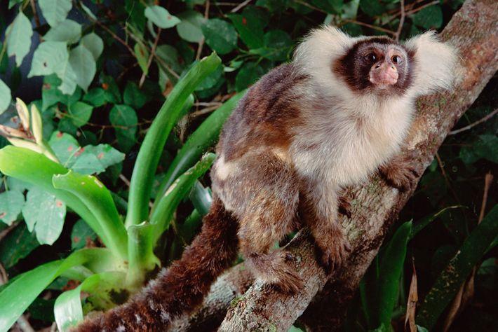 Um sagui-de-santarém numa floresta saudável do Brasil. Algumas espécies recém-descobertas de macacos têm raios de alcance ...