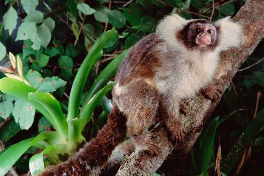 Um sagui-de-santarém numa floresta saudável do Brasil. Algumas espécies recém-descobertas de macacos têm raios de alcance muito limitados e estão atualmente sob a ameaça do fogo, levantando preocupações sobre as suas populações.