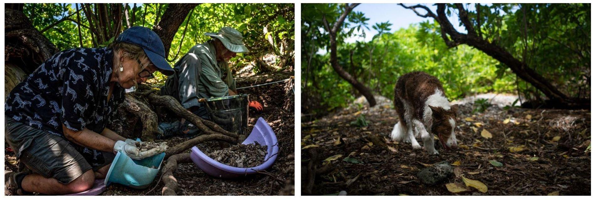 Esquerda: Os arqueólogos Dawn Johnson e Tom King procuram artefactos e fragmentos de ossos junto a uma árvore em Nikumaroro, onde, segundo uma das teorias, Earhart morreu. Direita: Berkeley, um cão-pisteiro, examina a ilha. Em 2017, uma equipa de cães-pisteiros, incluindo Berkeley, chamou a atenção para esta árvore, indicando a presença de restos humanos.