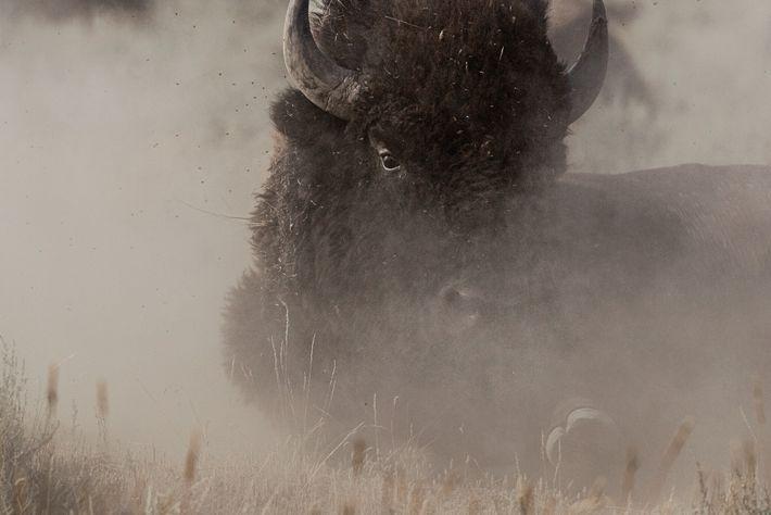 Um bisonte no meio de poeira na Reserva da Pradaria Americana, um projeto de conservação que ...