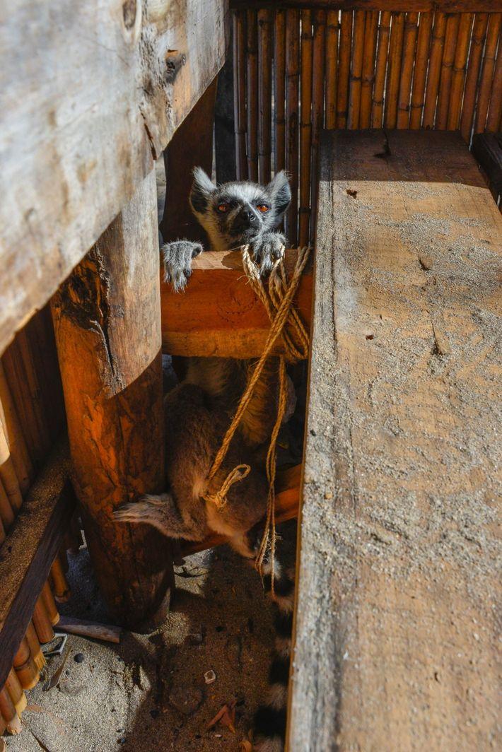 lémure de estimação em Madagáscar