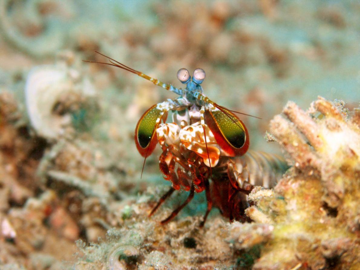 A lagosta-boxeadora disfere murros a mais de 80km/h às suas presas, matando-as ou atordoando-as.