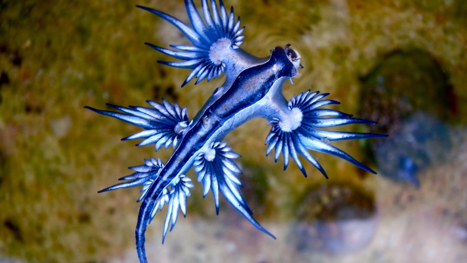 A lesma-do-mar-azul é um dos três predadores conhecidos da caravela-portuguesa.