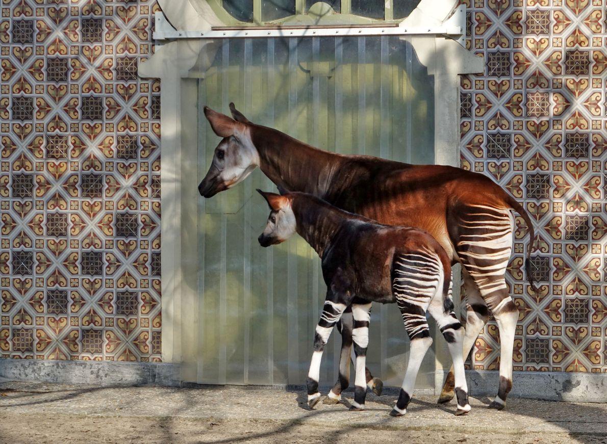 """O ocapi parece um híbrido de zebra e cervo, mas na verdade é """"primo"""" das girafas."""