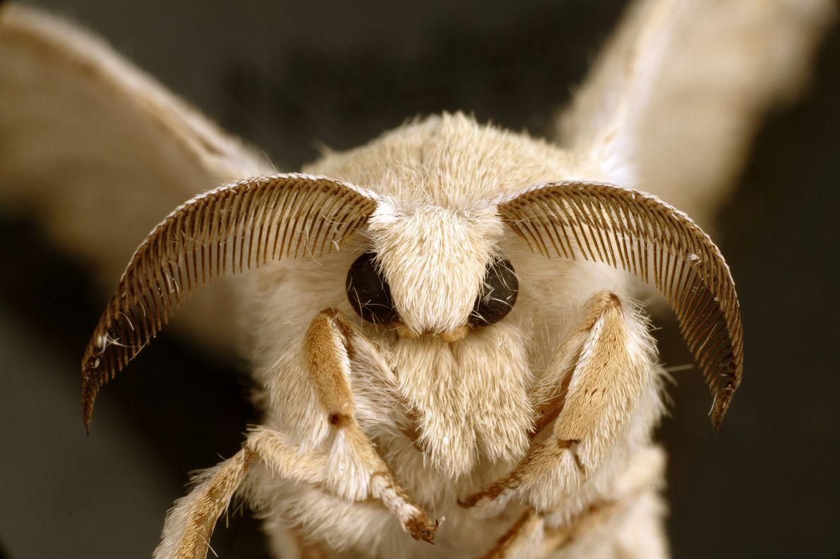 O bicho-da-seda adulto é uma mariposa que parece uma pequena fada.