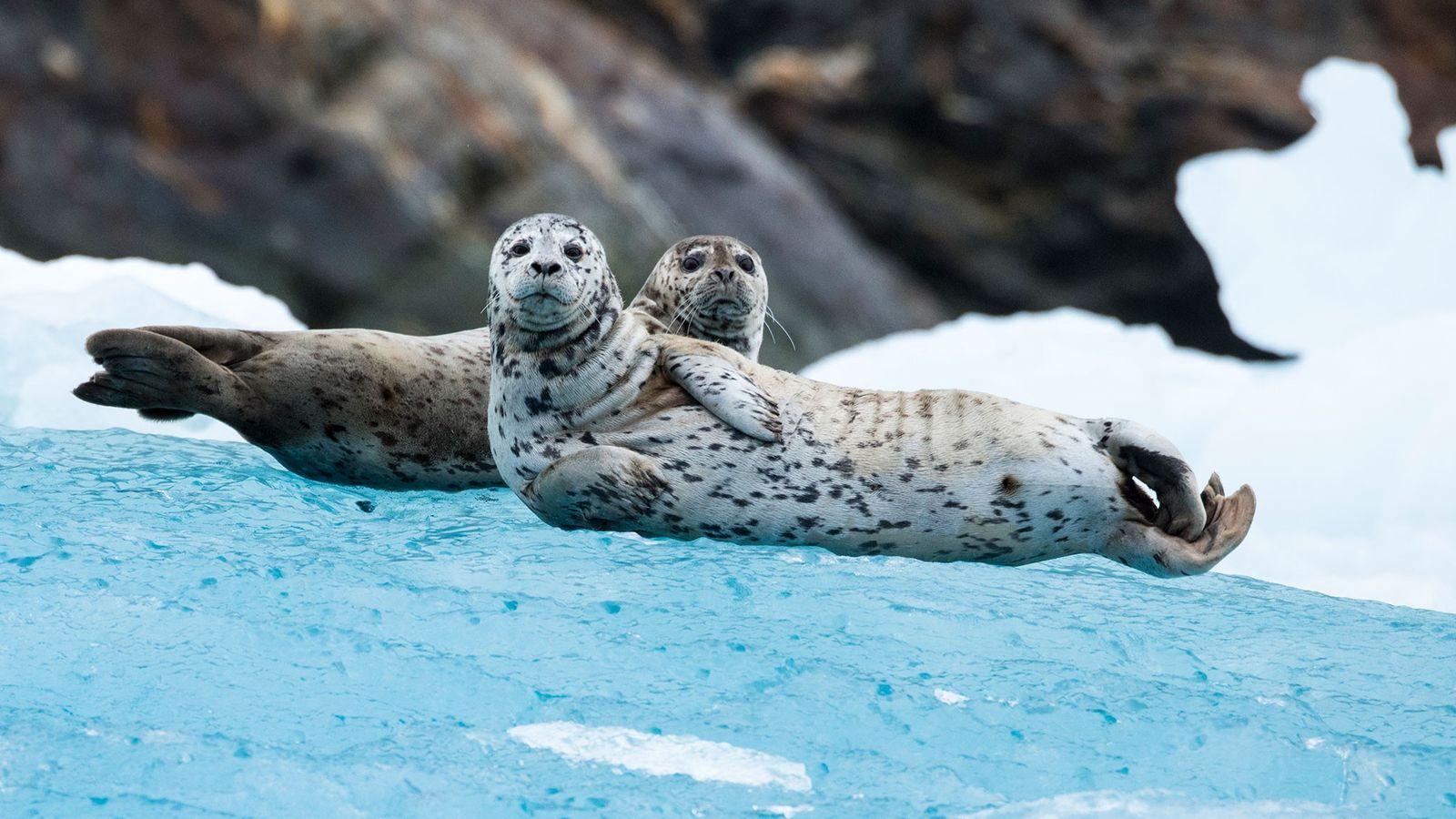 A foca-comum (nesta imagem vemos duas focas curiosas no Glaciar Sawyer no sul do Alasca) é ...