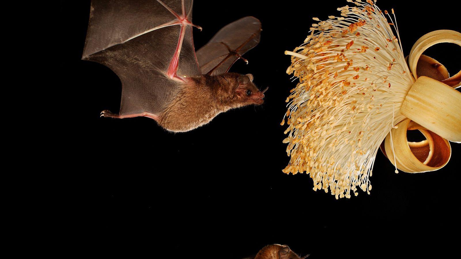 """Um morcego """"Glossophaga soricina"""" a alimentar-se de néctar. As fêmeas desta espécie alimentam as suas crias ..."""