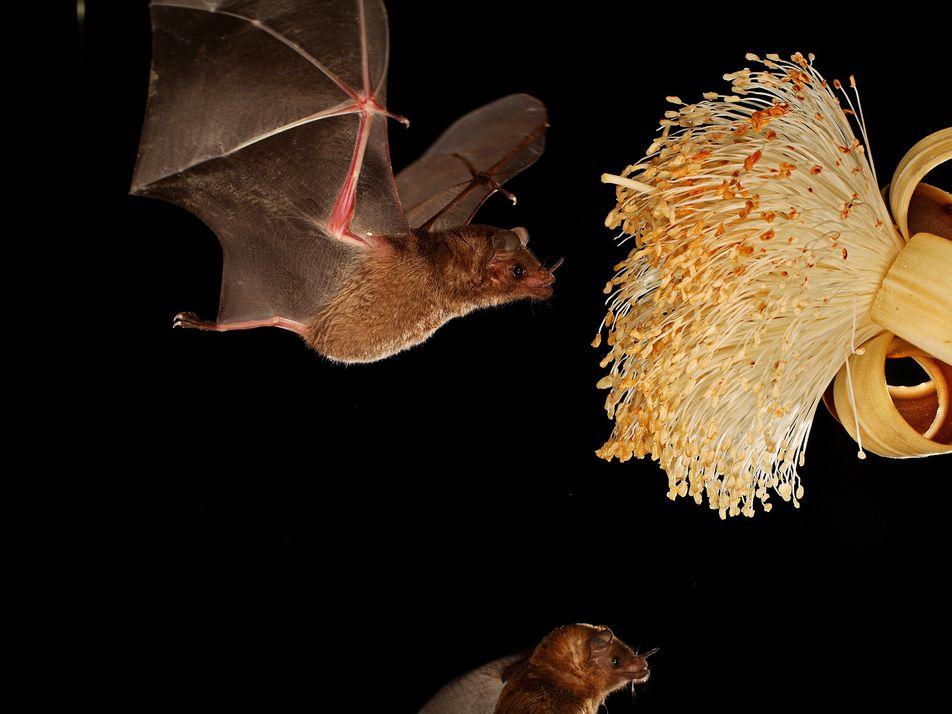 Nova Descoberta: Morcegos Regurgitam Néctar Para Alimentar as Crias