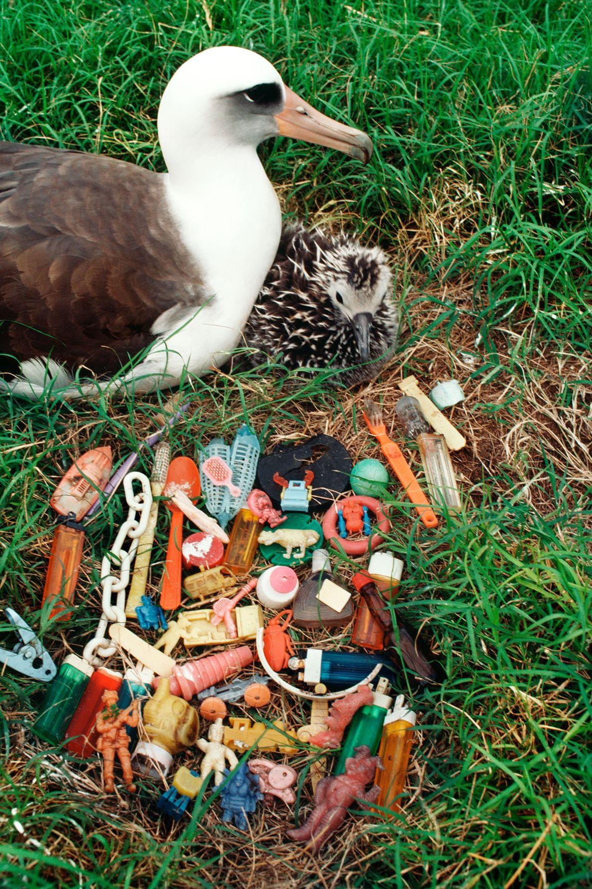 Um albatroz-de-Laysan e a cria descansam perto de um montículo de lixo regurgitado. Alguns pássaros com ...