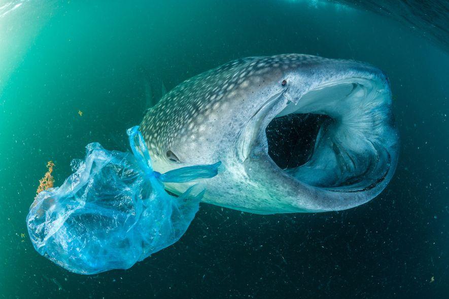 Um tubarão-baleia nada junto de um saco de plástico no Golfo de Adém, no Iémen. Embora ...