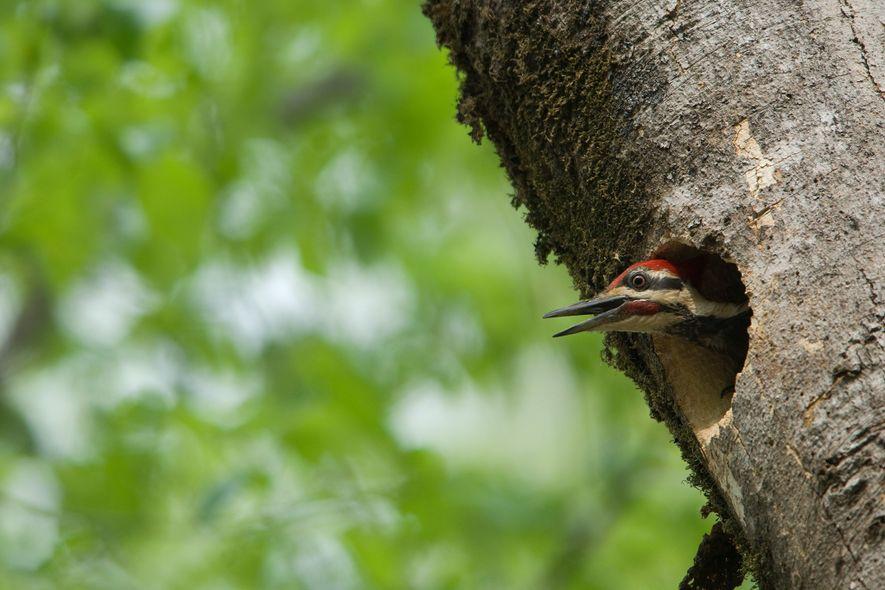 Pelo menos 20 espécies diferentes usam os ninhos de pica-pau como se fossem seus, fazendo destas aves uma espécie-chave no seu ecossistema.