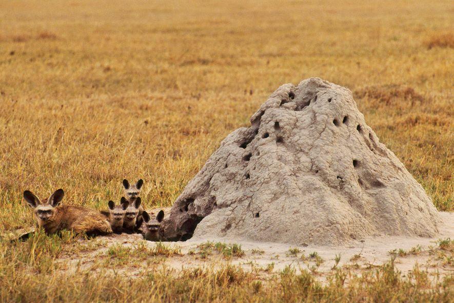 As raposas-orelhas-de-morcego, como esta família no Botswuana, costumam usar antigos montes de térmitas como covis.