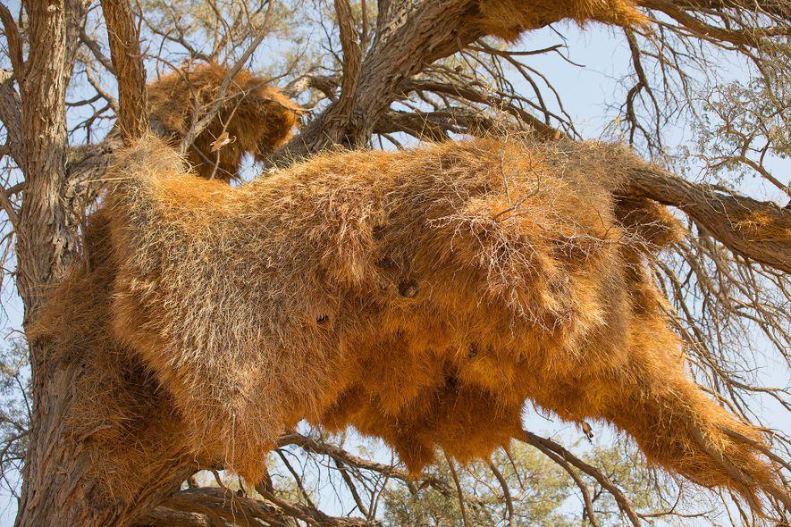Os ninhos de pássaros tecelões, como este, na Namíbia, são como condomínios. Estes ninhos albergam dezenas de famílias de pássaros tecelões, bem como aves de outras espécies.