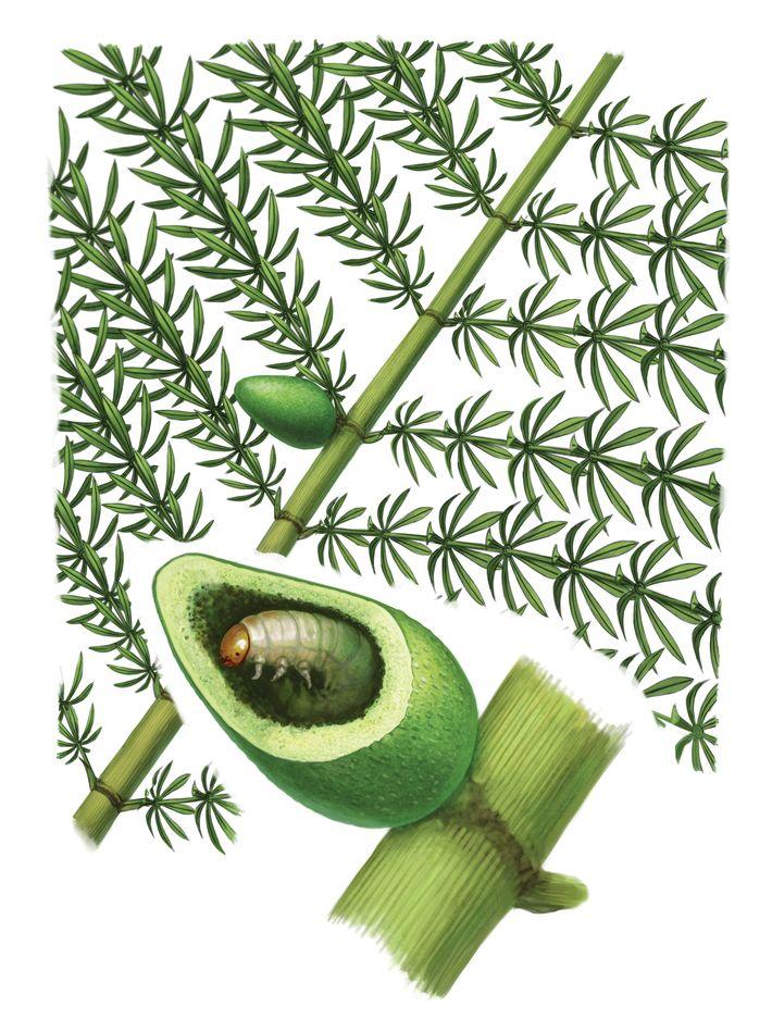 Reconstrução artística da planta hospedeira Annularia paisii sp. nov. com a sua galha de inseto Paleogallus ...