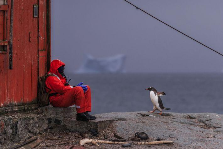 Uma pessoa sentada perto de uma colónia de pinguins-gentoo, Pygoscelis papua, junto a uma antiga cabana ...