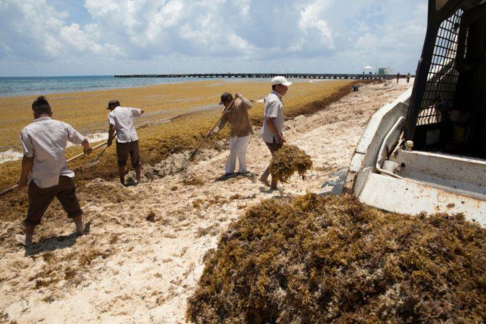 México: Massas de algas Sargaço a chegar às praias caribenhas