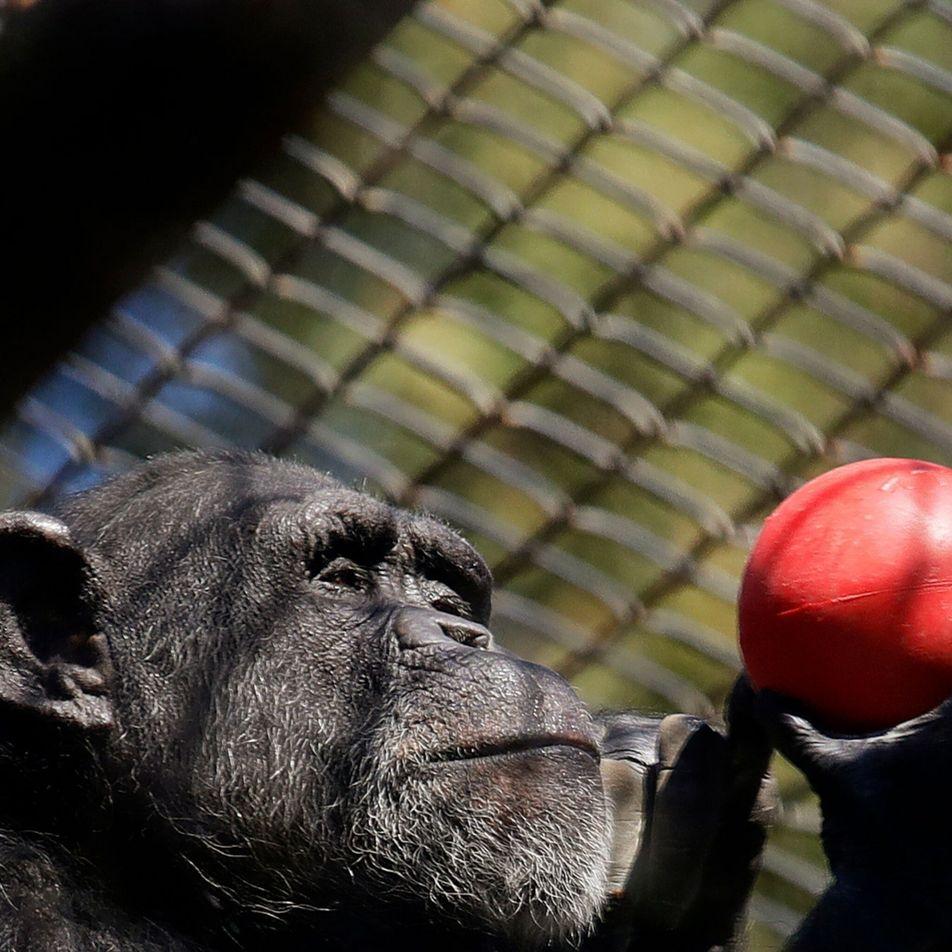 Ursos, babuínos e tigres estão a ser vacinados contra a COVID em zoos nos EUA