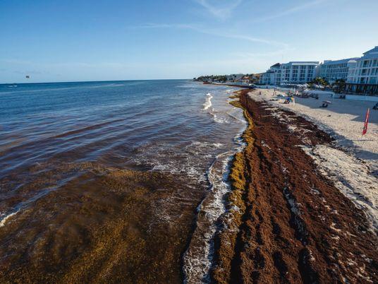 Será que a ciência consegue resolver o problema das algas marinhas nas praias mexicanas?