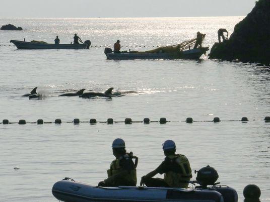 A controversa captura anual de golfinhos no Japão já começou