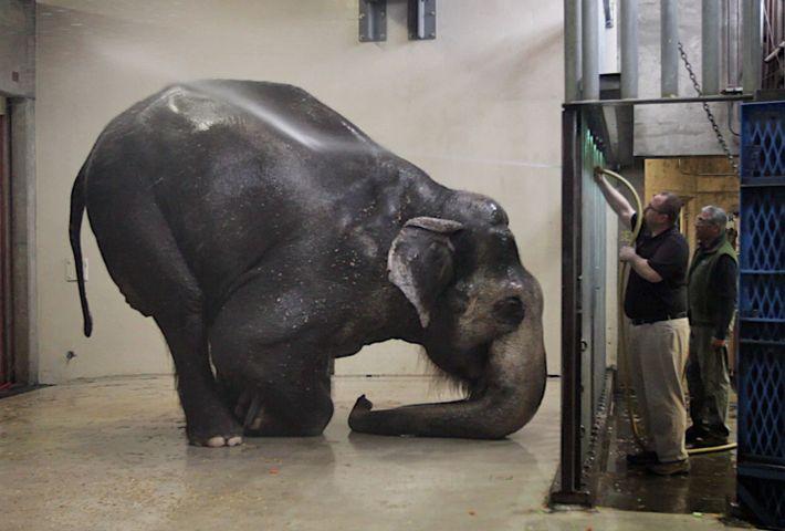 O elefante Packy, no Zoo de Oregon, em Portland, toma o seu banho matinal. Packy foi ...