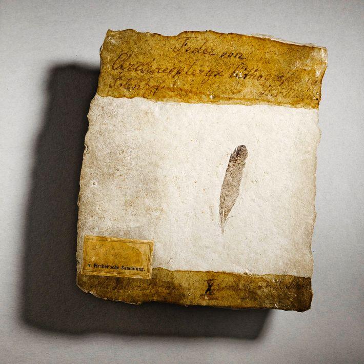 Preservada em excelentes condições, esta pena com 150 milhões de anos, a primeira alguma vez encontrada, ...