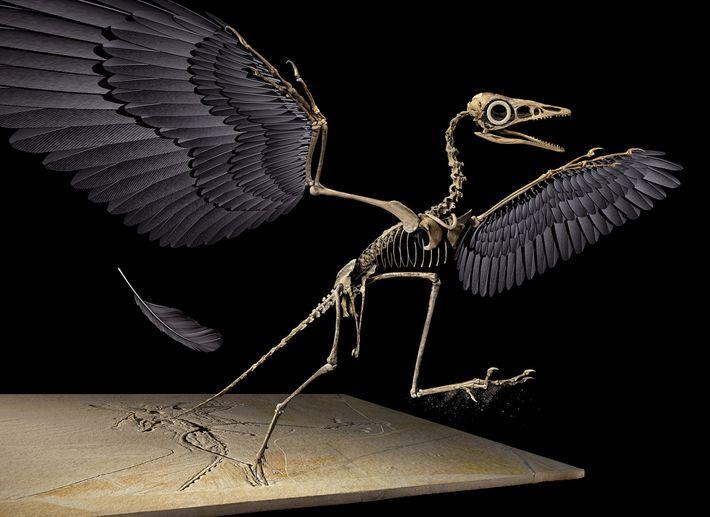 A pena jurássica pertence à asa esquerda do dinossauro voador Archaeopteryx, reconstruída nesta imagem em 3D.