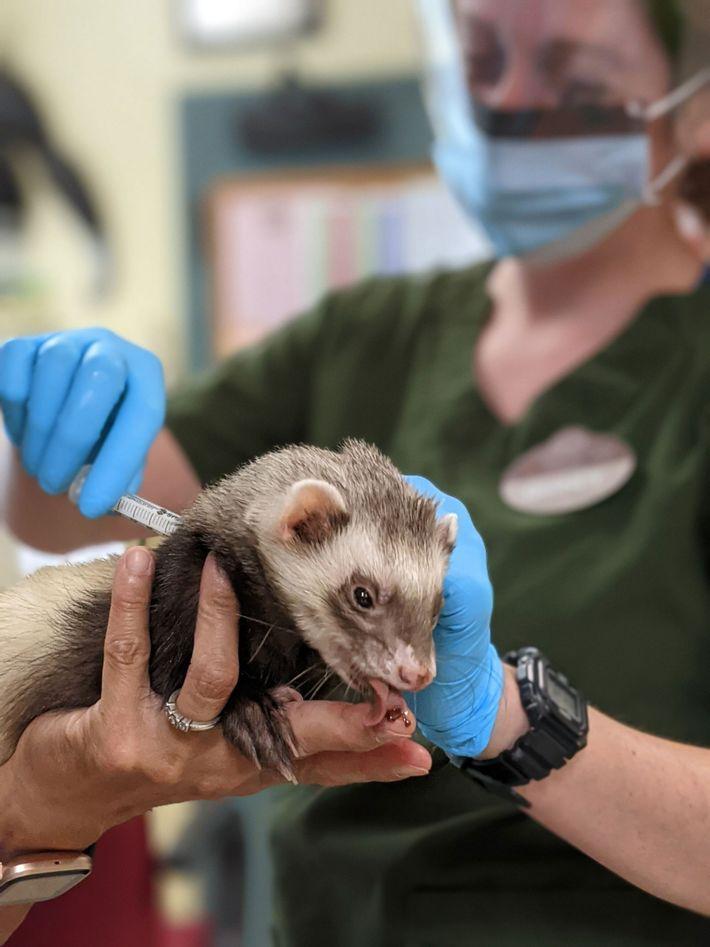 Vacina animal da COVID-19