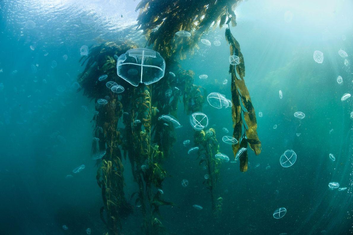 Medusas a flutuar entre as folhas de uma floresta de algas ao largo da Isla de ...