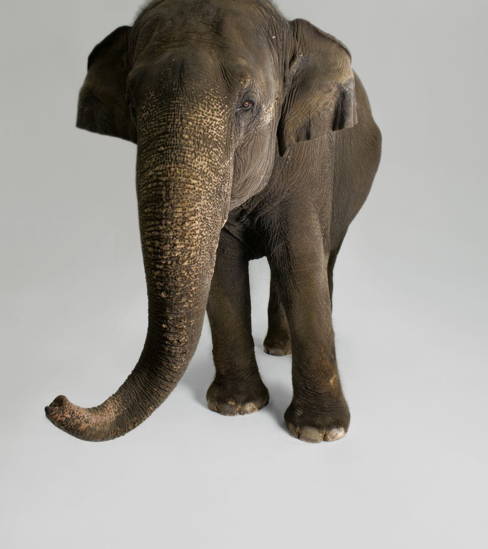 Investigadores documentaram uma enorme variedade de comportamentos nos elefantes asiáticos que demonstram inteligência, incluindo a capacidade ...