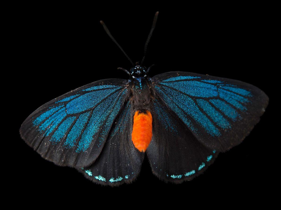Eumaeus atala (não foi avaliada) Em meados do século XX, esta borboleta da Flórida e ilhas a ...
