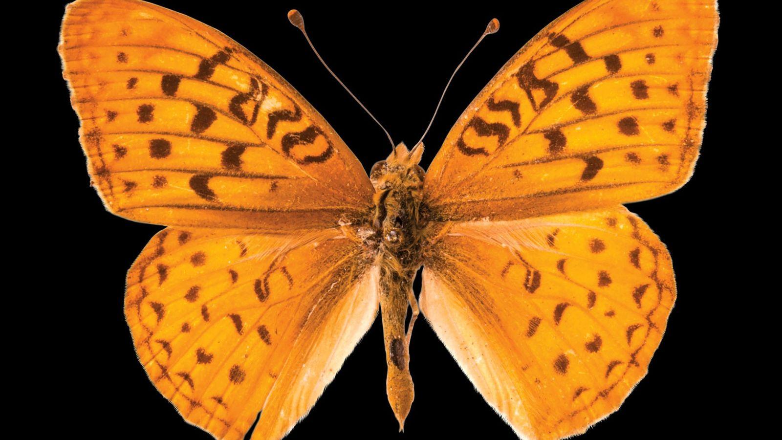 Speyeria adiaste atossa (não foi avaliada) Esta borboleta da Califórnia perdeu o seu habitat devido às pastagens ...