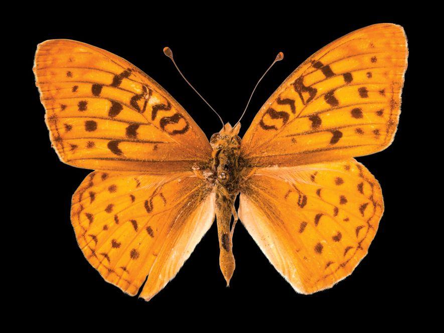 Speyeria adiaste atossa (não foi avaliada)  Esta borboleta da Califórnia perdeu o seu habitat devido ...
