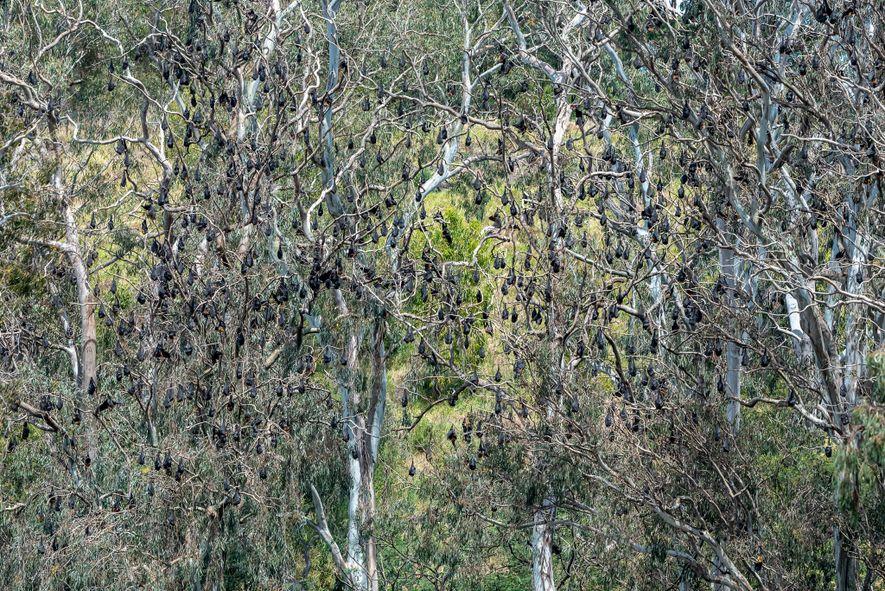Raposas-voadoras-de-cabeça-cinzenta penduradas nas árvores do Parque Yarra Bend. Antes de dezembro de 2019, esta colónia tinha ...
