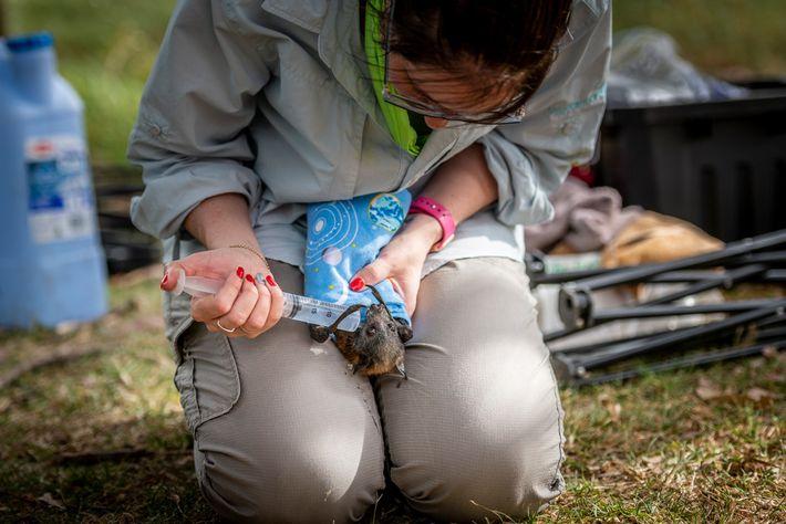 No Parque Yarra Bend, Kate Chamberlain, socorrista de vida selvagem, dá líquidos a uma raposa-voadora desidratada.