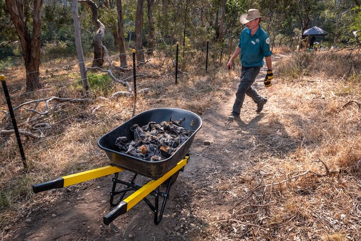 Stephen Brend, biólogo e guarda florestal do Parque Yarra Bend, passa por um carrinho de mão ...