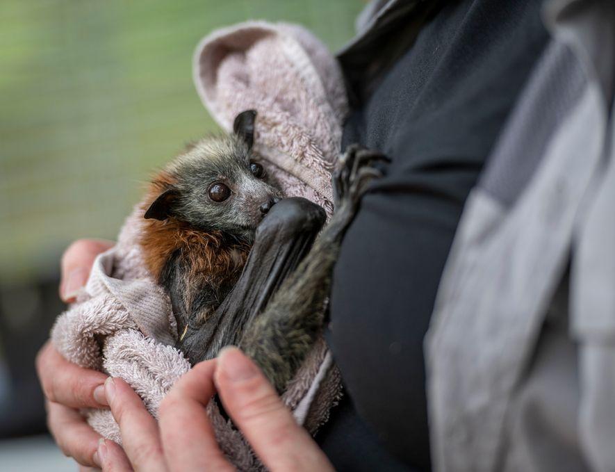 Tamsyn Hogarth embala uma cria de raposa-voadora no Parque Yarra Bend. Tamsyn Hogarth chefia a Fly ...