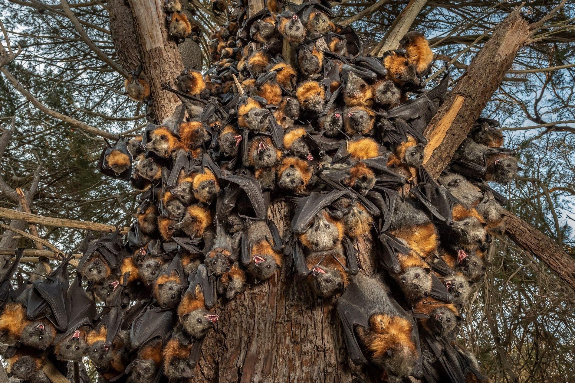 Dezenas de raposas-voadoras-de-cabeça-cinzenta amontoadas a sufocar, numa tentativa de sobreviver ao calor de 43 graus no ...