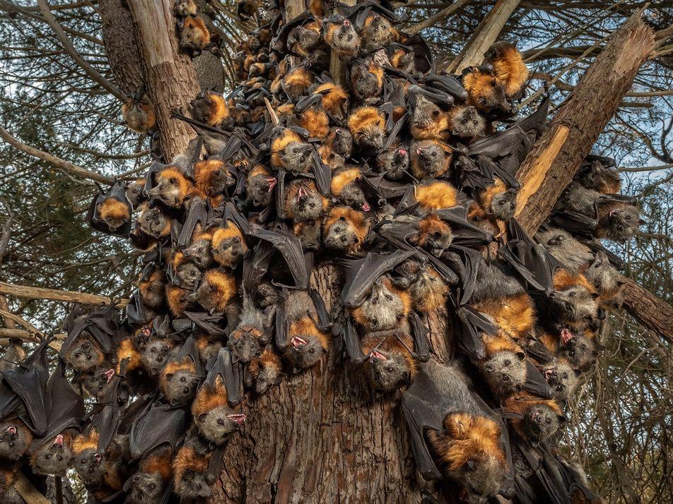 Austrália: Calor Extremo Devasta Raposas-Voadoras